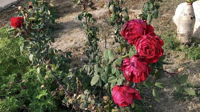 Rosa Borboniano Var. Red