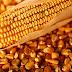 Mercado de milho exige nova postura dos criadores do país