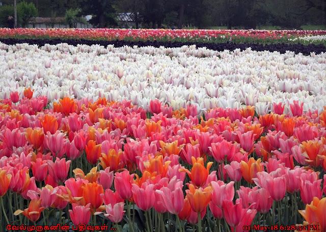 Oregon tulip festival