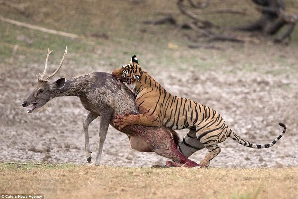 Deer Attacks Dog And Cat