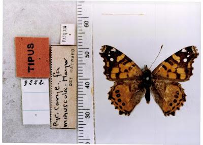 Mariposa dama cuatro ojos (Vanessa carye)