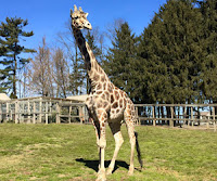 Jimmie the Giraffe