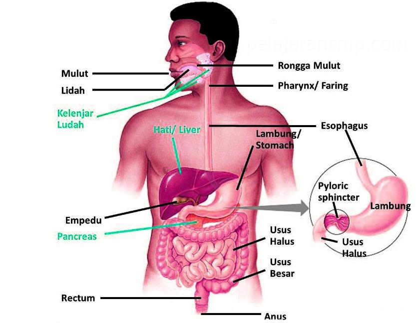Materi Sistem Pencernaan Pada Manusia Mulut Kerongkongan Lambung Usus Halus Usus Besar Makanan Dan Kesehatan Ipa