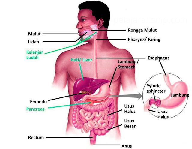 Materi Sistem Pencernaan Pada Manusia, Mulut, Kerongkongan, Lambung, Usus Halus, Usus Besar, Makanan dan Kesehatan IPA SMP Lengkap