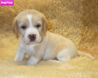 Lemon Beagle Photo Gallery  |Lemon Beagle Puppies