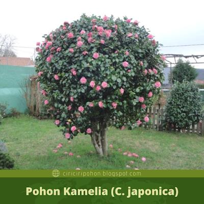 Ciri Ciri Pohon Kamelia (C. japonica)