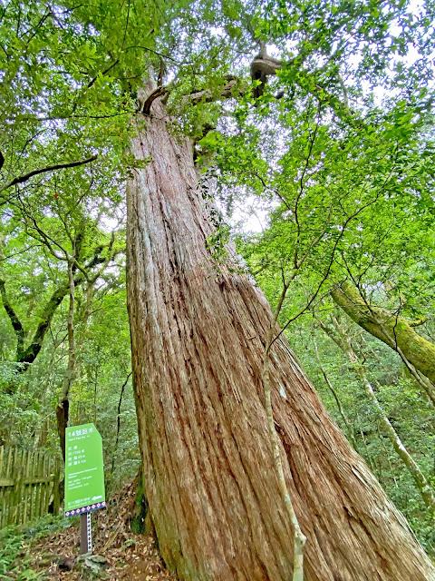 14號巨木