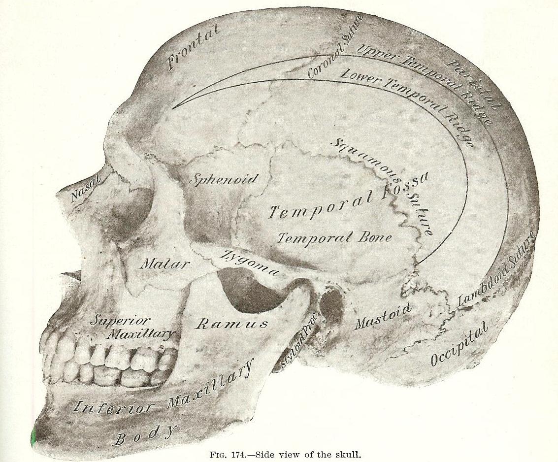 Halloween Skeleton Images Gray S Anatomy