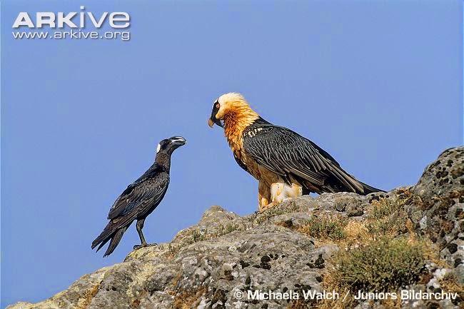 quebrantahuesos con cuervo