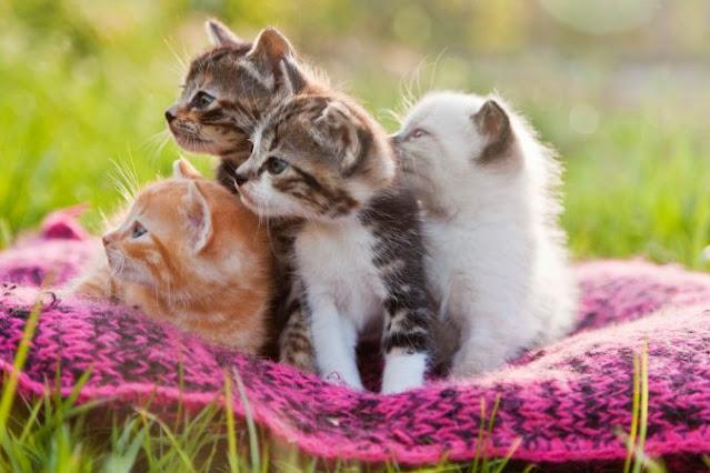 10 من سلالات وانواع القطط الأكثر شعبية في العالم ؟