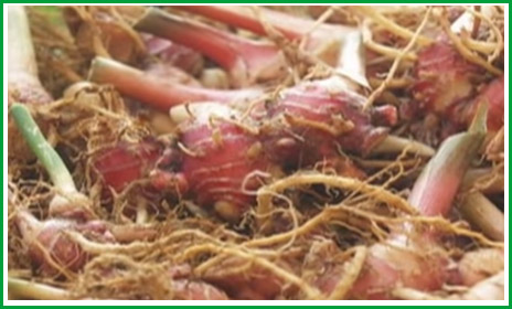 MasGudangNews: Side Of Effects Consuming Ginger Excessively
