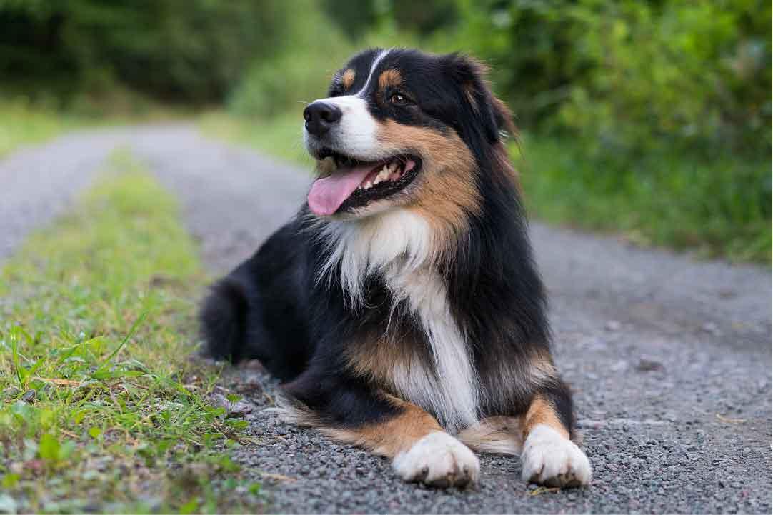 Le Berger Australien est-il sociable avec les autres chiens?