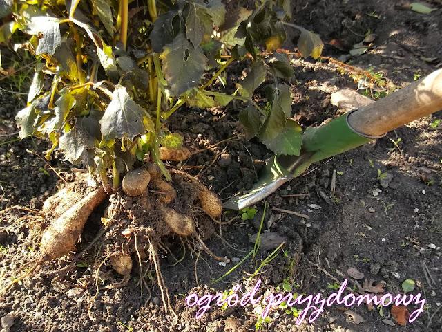 cebulki kwiatowe, kwiatwe cebule, ogród przydomowy