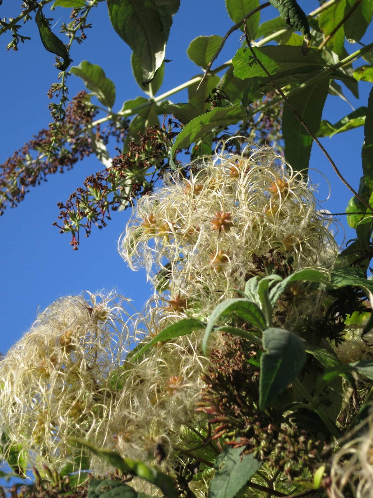 Old Man's Beard and Buddleia at the end of summer