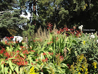 Crocosmias - Christchurch Botanic Gardens, New Zealand