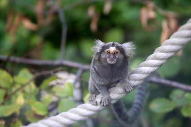 Ilmuwan Mengukur Otak Monyet Menggunakan Gen Manusia