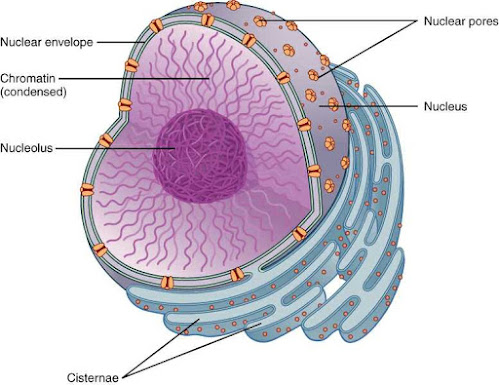 Nucleus, Cell the unit of life, cell biology