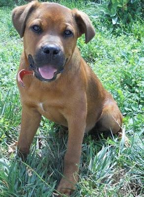 Boxweiler (Rottweiler Boxer mix) Temperament, Size, Lifespan, Adoption
