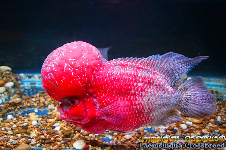 FLOWERHORN FISH for SALE in BANGKOK THAILAND : Big Hump ...