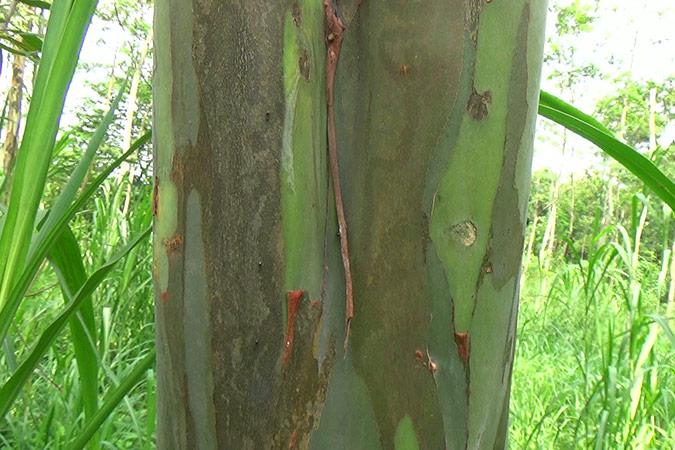Dlium Rainbow eucalyptus (Eucalyptus deglupta)