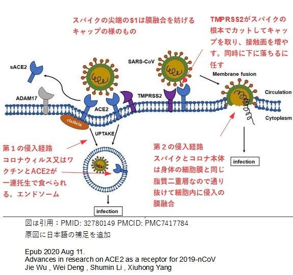Fig.1 コロナウィルスのACE2を介した2つの感染経路、PMID: 32780149 PMCID: PMC7417784