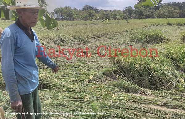 petani majalengka pasrah sawahnya terancam gagal panen
