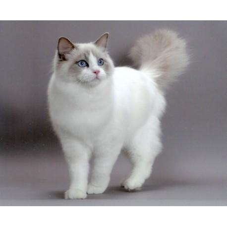 Download 64+  Gambar Kucing Anggora Lucu Dan Menggemaskan Terbaik
