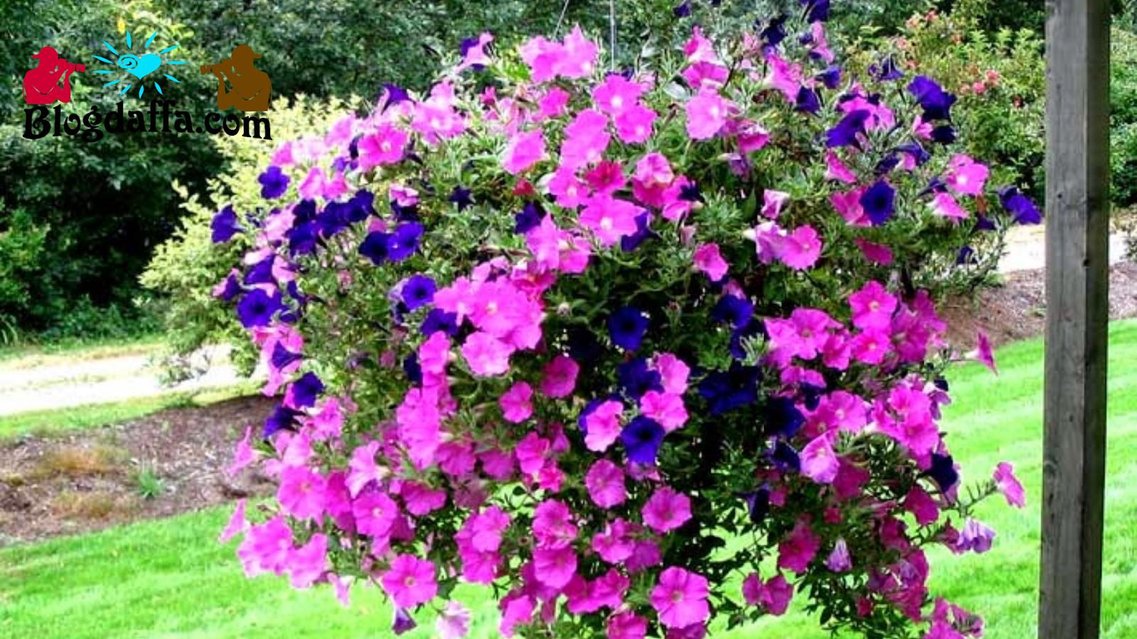 Tapak Dara bunga gantung tahan panas