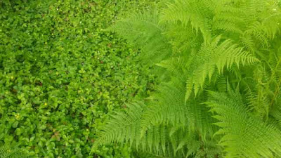 San Francisco Japanese Tea Garden ferns