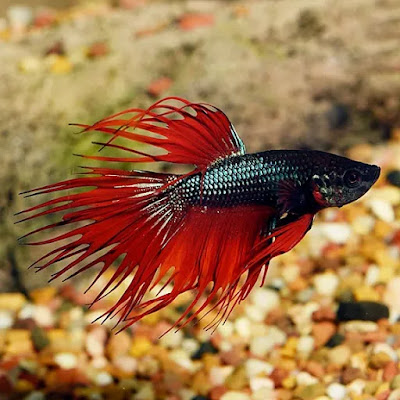 Female Crowntail Betta Black Fish Facts