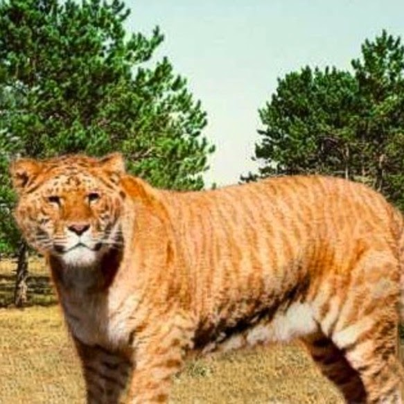 LIGER : The Large Member Of The Cat Family. : Pictures
