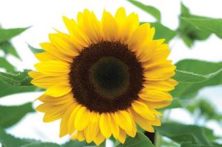 sun flower bunga persahabatan