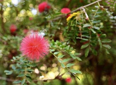 jenis tanaman kaliandra