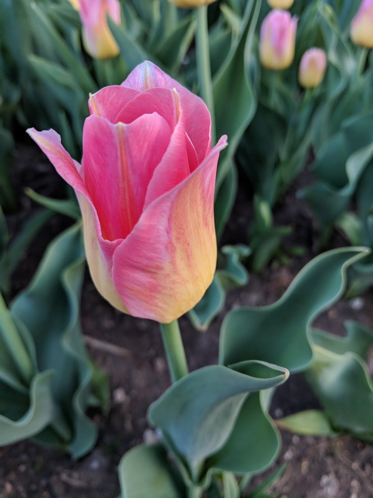 favorites may tulip pink yellow garden flower