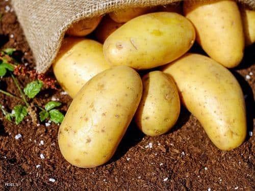 خسائر تاريخية غير مسبوقة لمحصول البطاطس بمصر