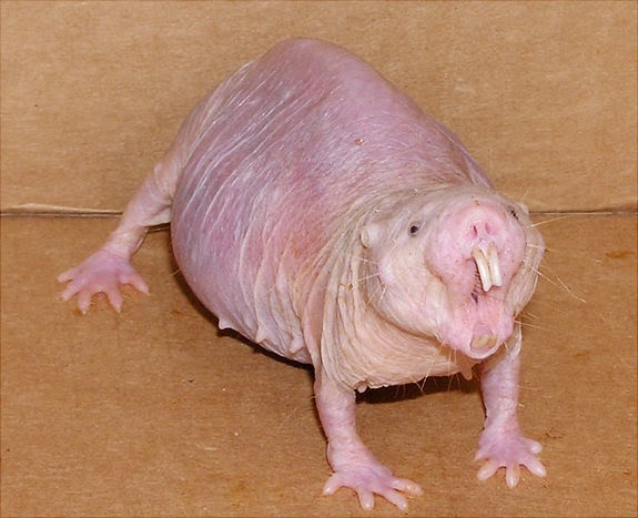 Animals You May Not Have Known Existed - Naked Mole Rat