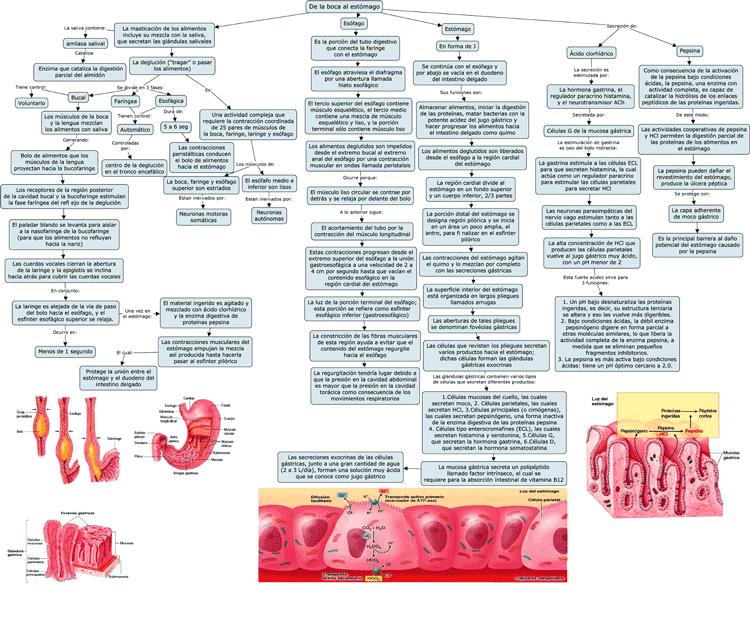 Mapa conceptual de la Boca al estomago