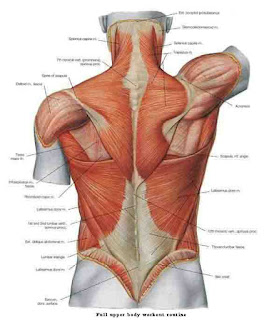 Full Upper Body Workout Routine-back muscles