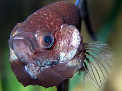 Ciri-ciri Ikan Cupang Aduan yang Berkualitas Super dan Ganas