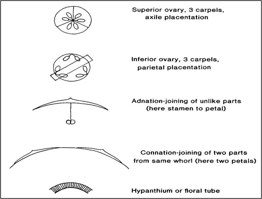 Floral Diagrams