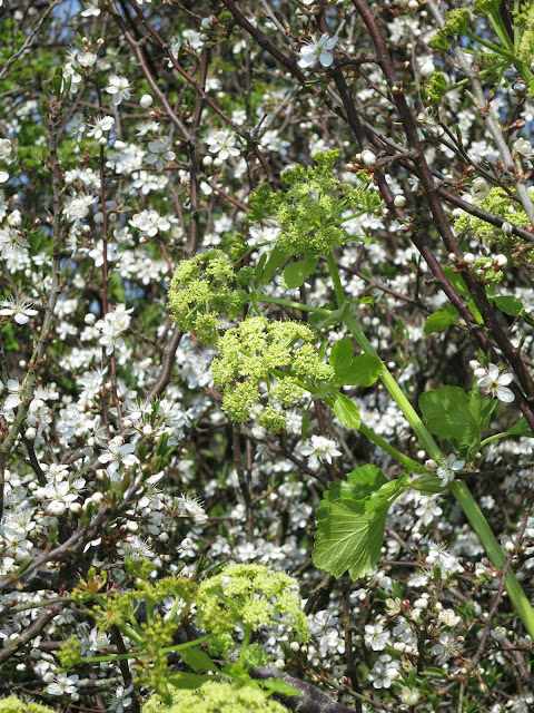 Alexanders (Smyrnium olusatrum) against a background of blackthorn blossom.