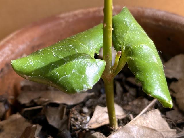 蝋梅 ミニ盆栽づくり3