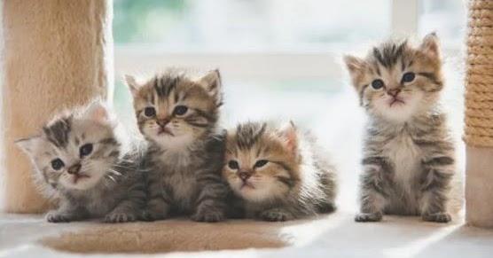 Keutamaan Dan Manfaat Memelihara Kucing Risalah Islam