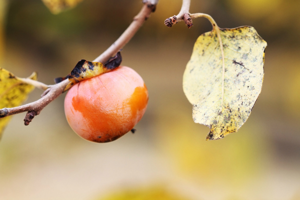 American Persimmon Fruit Tree in the fall