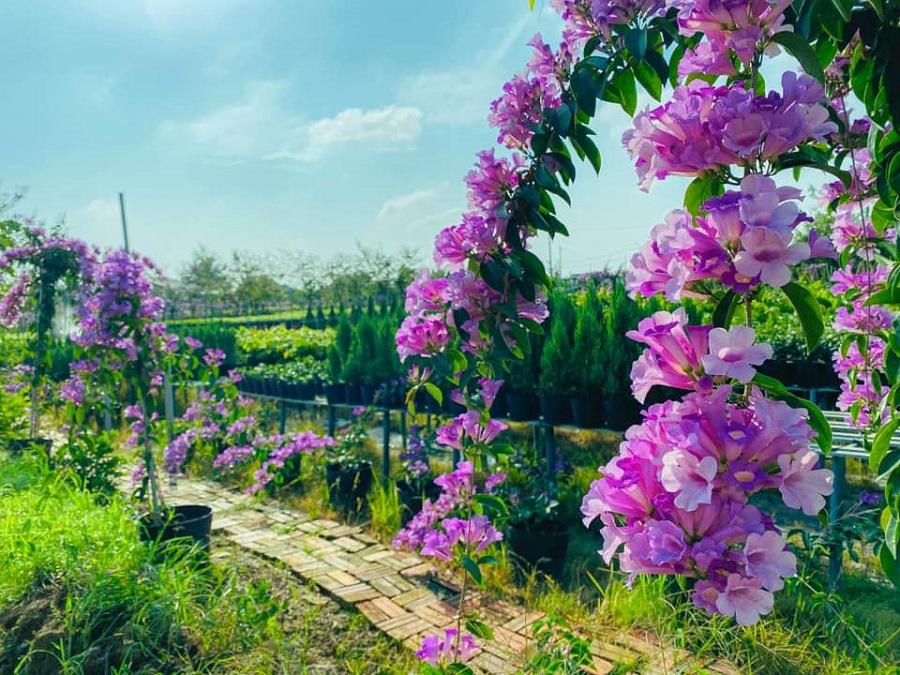 Vườn hoa Lan Tỏi Tím tại Làng Hoa Sa Đéc 1