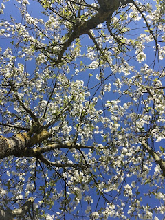 Sauerkirsche Blüten Äste Zweige