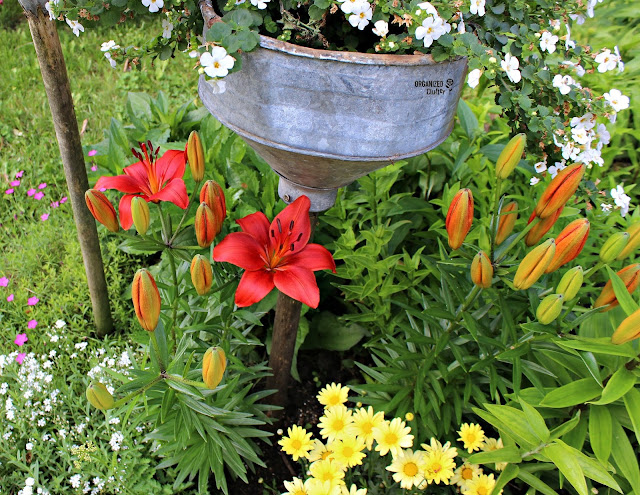 Border Lilies Coming into Bloom