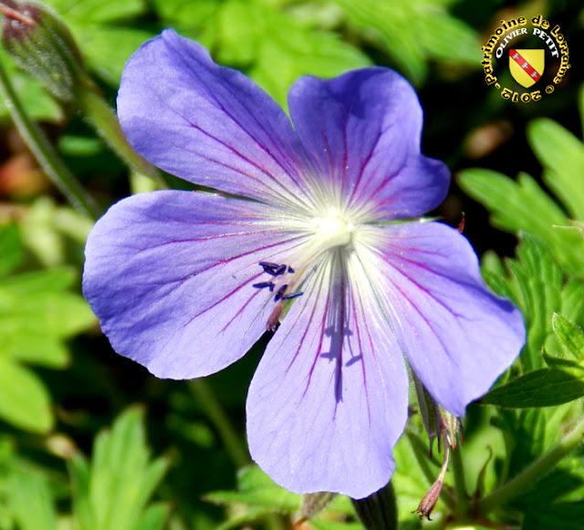 VILLERS-LES-NANCY (54) - La roseraie du Jardin botanique du Montet - Rosa moschata