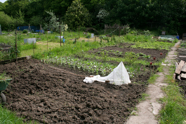 The Victory Garden - View of Allotment in may