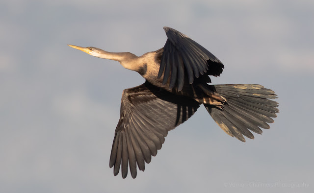 African Darter in Flight Table Bay Nature Reserve Woodbridge Island Vernon Chalmers Photography
